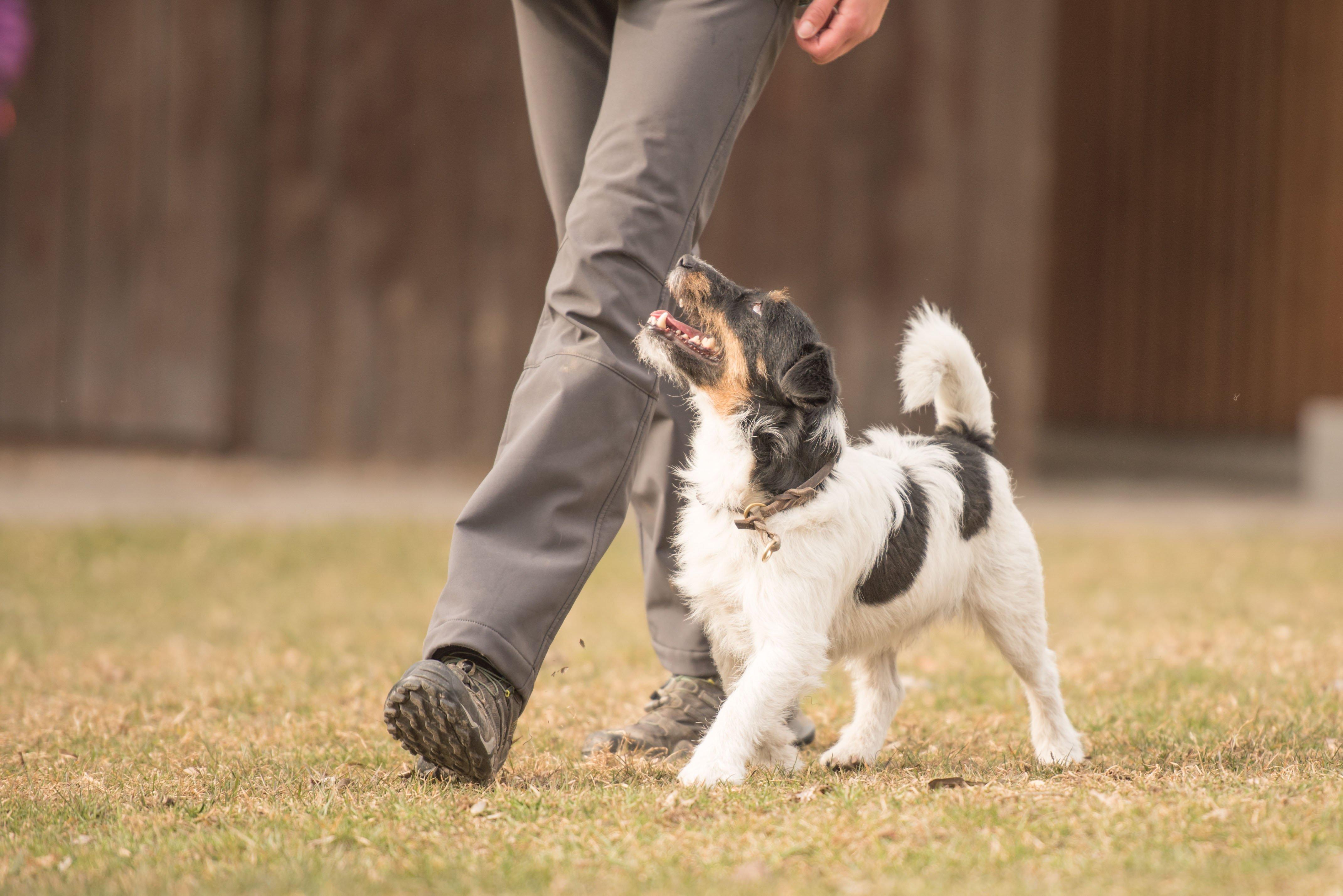 Hund läuft bei Fuss