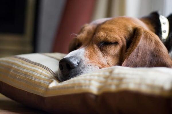 chien dort paisiblement la tête posée sur un coussin