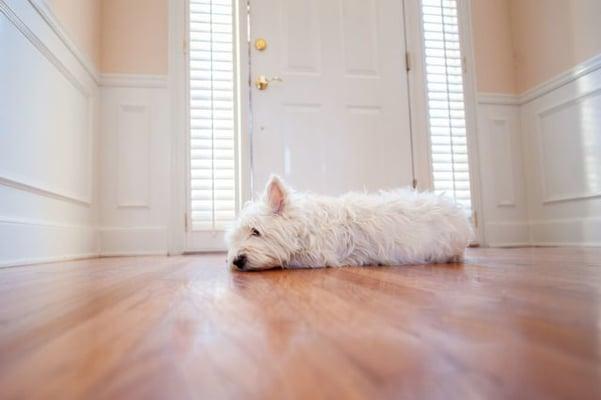 chien blanc couché devant la porte d'entrée