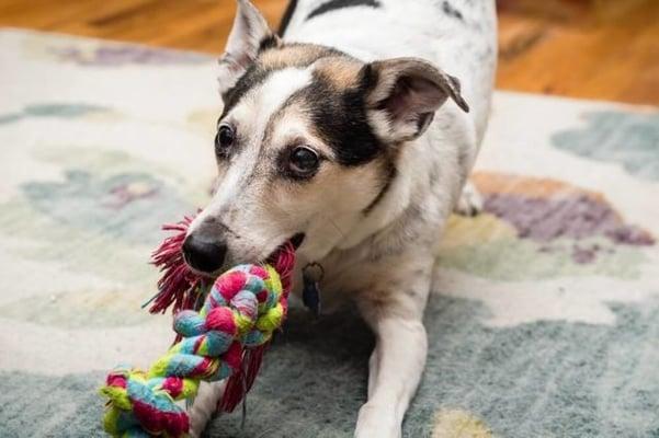 chien joue avec un noeud