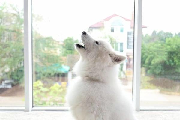 chien blanc aboie seul dans la maison