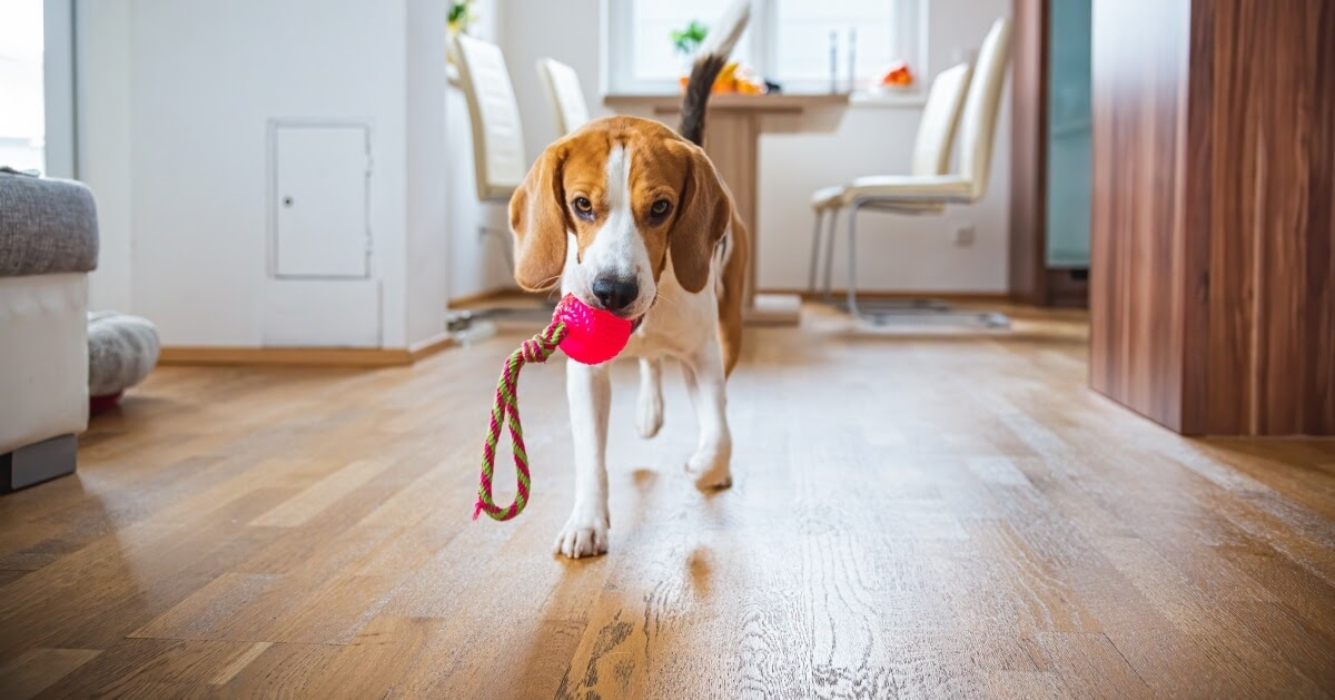 Dogs holding Squeaky Toys