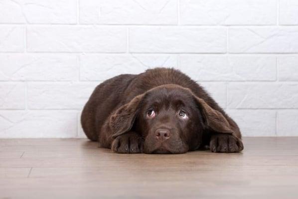 chien brun couché apeuré