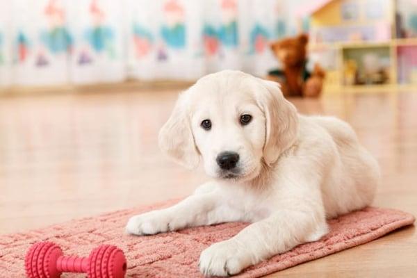 labrador blanc joue sur un tapis