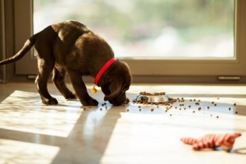 chiot mange des croquettes adaptées