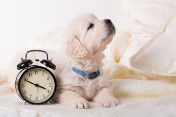 golden retriever attend proche d'un réveil