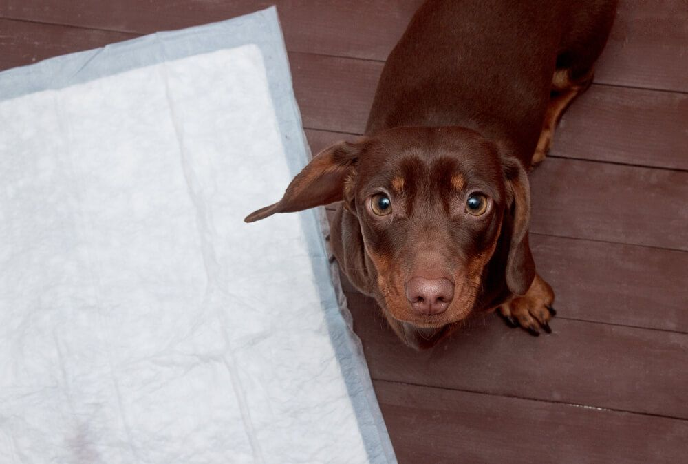 7 Puppy Toilet Training Tips