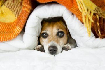 chien caché sous une couette