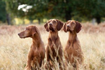 chiens aux aguets
