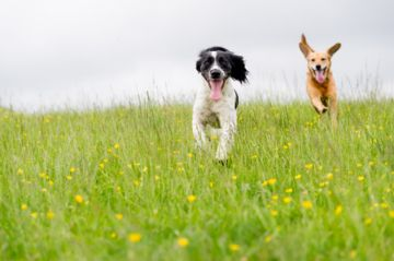 deux chiens courent ensemble dans l'herbe
