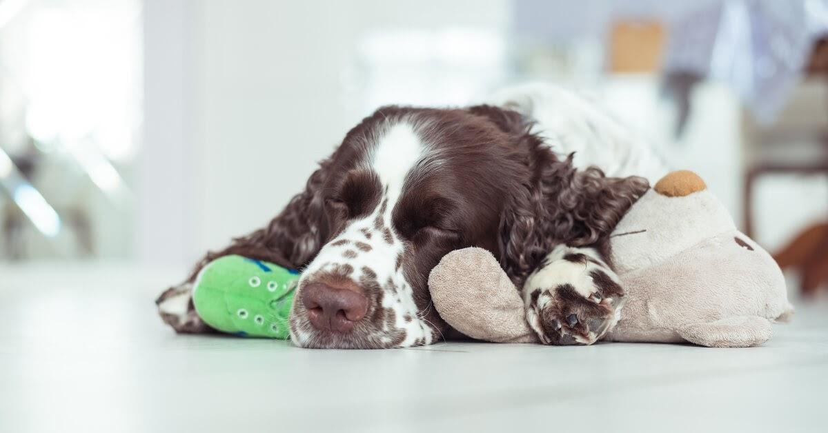 spaniel dog asleep with toys