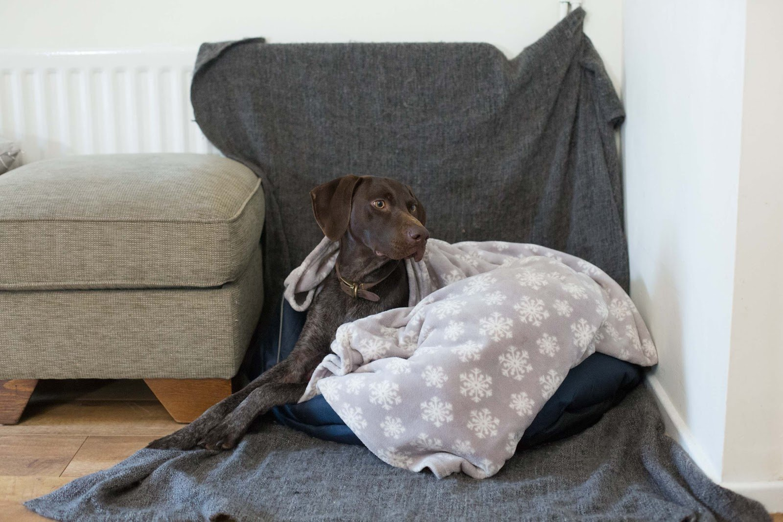 large dog in comfortable bed and blanket